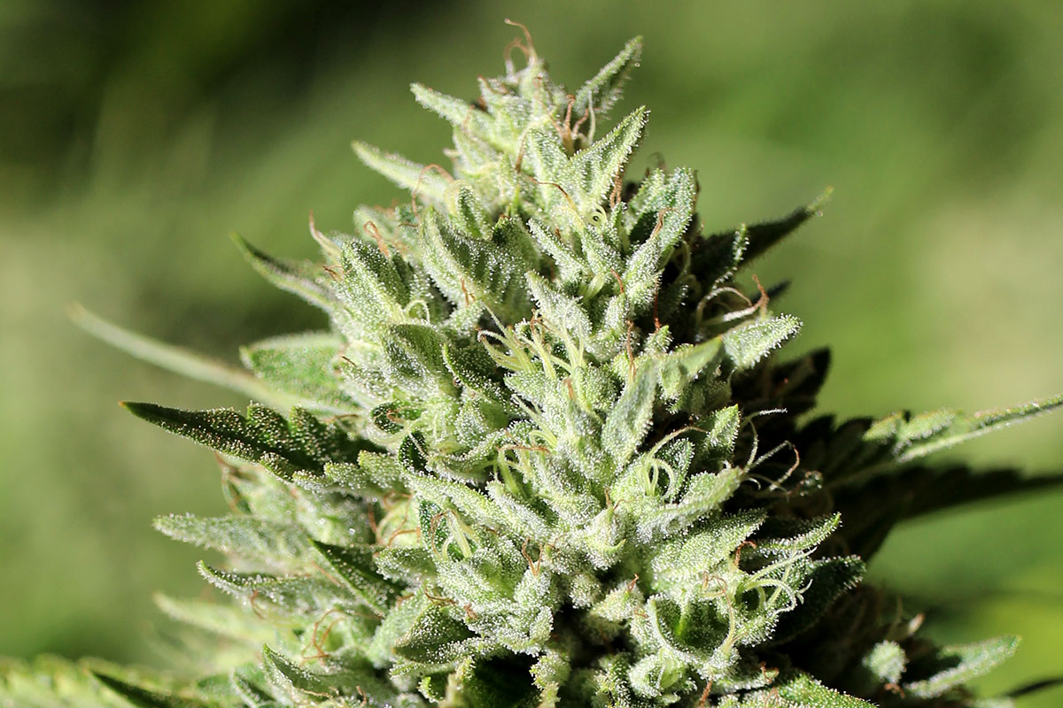 THC: This Cannabinoid Is the Reason You Get High From Weed