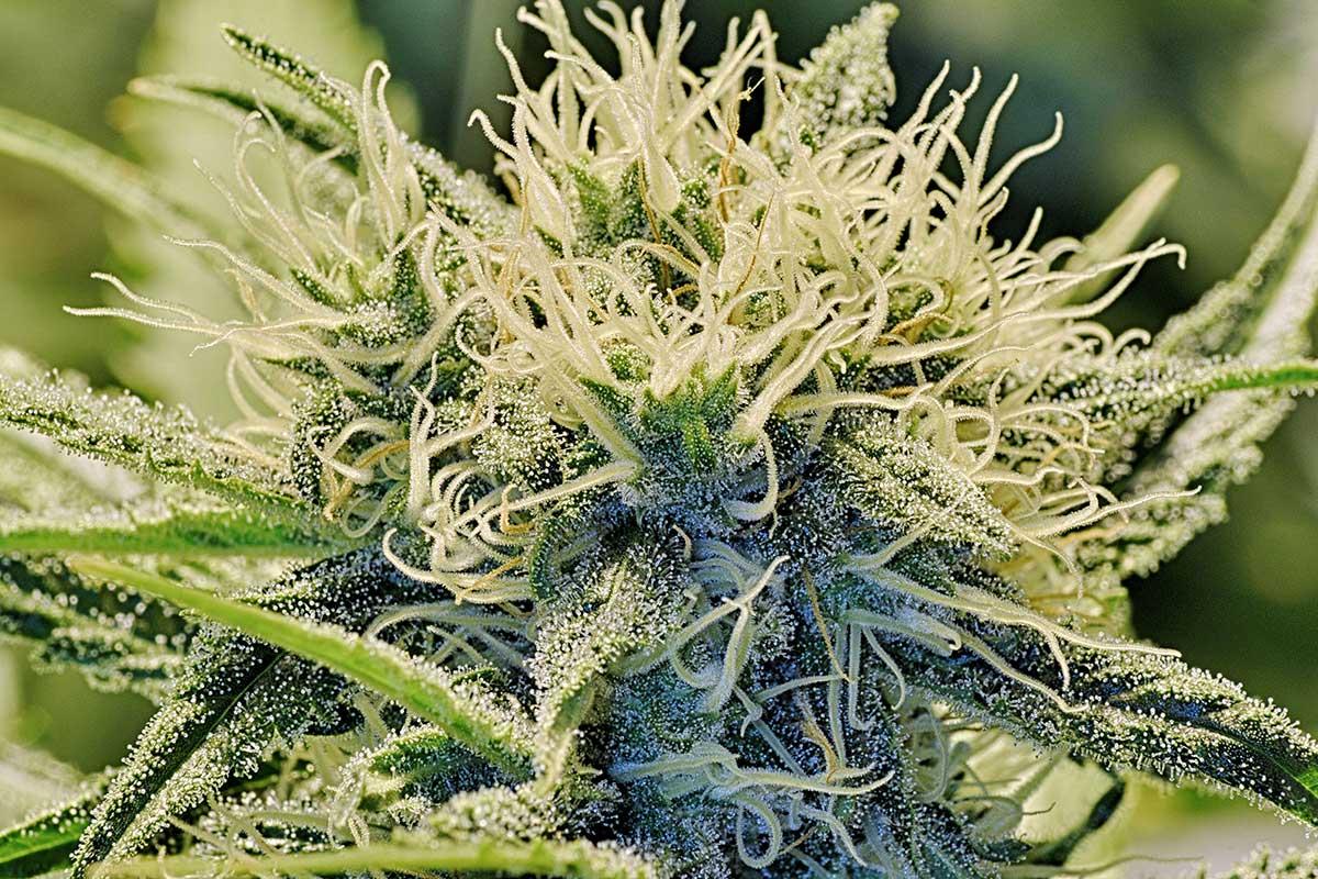 Cannabinoid-Based Medicine