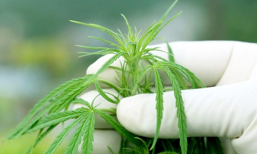 cannabisaficionado.com