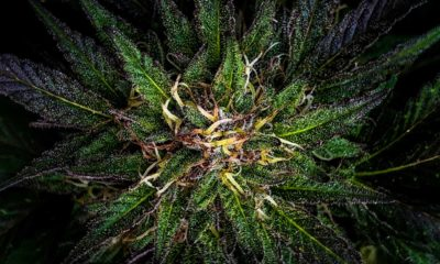 How Cannabis Affects Dreams